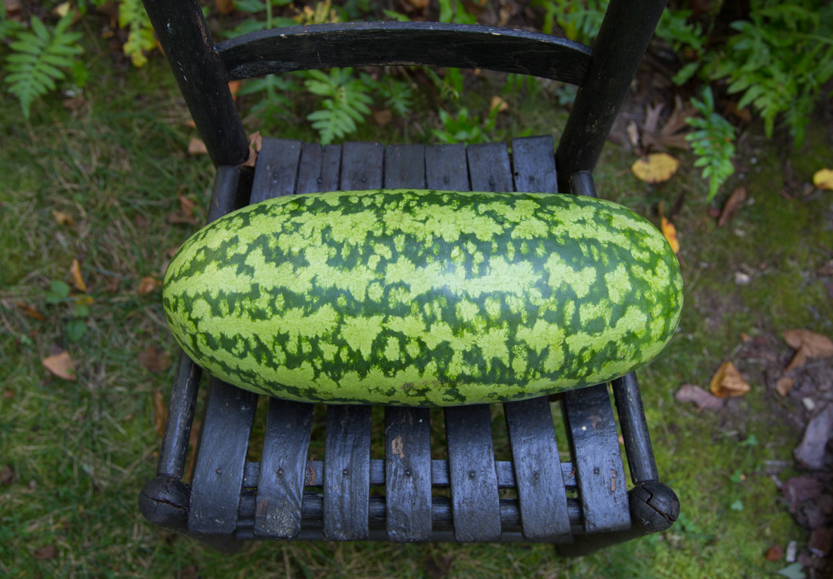 whole heirloom Congo watermelon for pickled watermelon